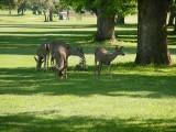 ancil-hoffman deer
