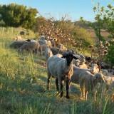 Sheep on Levee